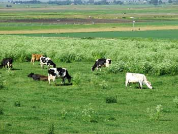 Cattle grazing near lethal poison hemlock
