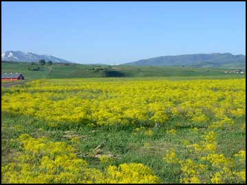 Dyer's woad that is out of control in Cache Valley, Utah.